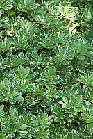 Pachysandra terminalis 'Variegata'