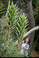 BNPS.co.uk (01202) 558833<br /> Picture: Peter Willows<br /> <br /> Garden worker Kirsten Morris (23) is dwarfed by the Puya flowers<br /> <br /> Horticulturists are celebrating after an exotic bromeliad plant that only blooms once in its lifetime has finally burst into flower on the hottest day of the year at the Ventnor Botanic Gardens on the Isle of Wight. The blooms on the spiky Puya berteroniana, is extremely rare to see in the plant world and never seen on a plant grown in the UK. The flowers are expected to last for around three weeks but it will sadly be the first and last time the 6ft tall plant blooms as they die shortly after.<br /> <br /> Normally the plant, which is a relative of the pineapple from the Andes in South America, requires extremely dry conditions to flourish and has waxy, silver coloured spined on its leaves to protect them against sunlight. However, it is a hardy species and can survive in temperatures as low as -7 degrees celcius if kept relatively dry.