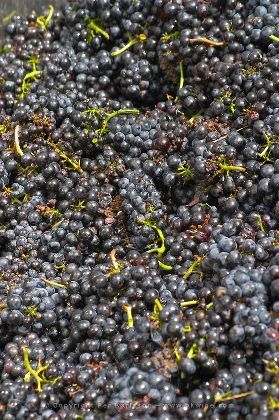 Grape reception at harvest. Gamay. Domaine Tracot Dubost, Beaujolais, France