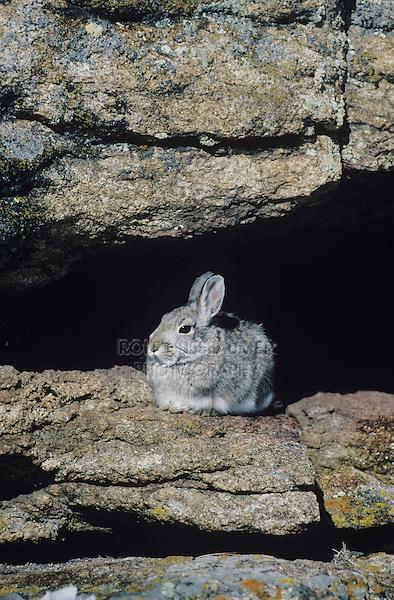 Mountain Cottontail (Sylvilagus nuttalii), adult on rock ledge, Rocky Mountain National Park, Colorado, USA