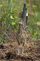 Morning shot of that famous star from the roadrunner &amp; coyote cartoon, classic pose..<br />