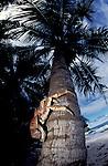 Robber or coconut crab climbs palmtree<br /> Birgus latro