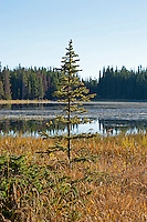Young evergreen tree next to the edge of Lake Bierstadt. Rocky Mountain National Park, Colorado.