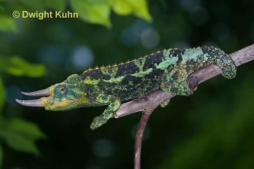 CH36-510z  Male Jackson's Chameleon or Three-horned Chameleon, Chamaeleo jacksonii