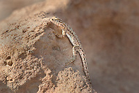442000005 a wild nevada side-blotched lizard uta stansburiana nevadensis perches on a rock along chalk bluffs road in owens valley inyo county california united states