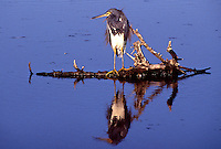 A Tricolored heron on a branch in Merrit island, Florida.  (Photo by Brian Cleary/www.bcpix.com)