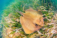 southern stingray, .Dasyatis americara, .Stiltsville, Biscayne National Park, .Miami, Florida (Atlantic)