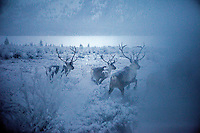 Reindeer in a snow-covered field in Tomtor, one of the coldest inhabited places on earth having recorded some of the lowest temperatures.