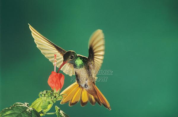 Buff-bellied Hummingbird, Amazilia yucatanenensis,adult feeding from Turk's Cap (Malvaviscus drummondii), Cameron County, Rio Grande Valley, Texas, USA