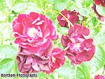 A close up on a beautiful rose bush.