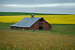 Idaho, North Central, Grangeville. A red barn against a backdrop of canola in spring.