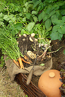 Pulling up potatoes, carrots in garden, shown growing and picked