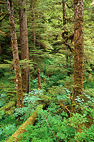 Old growth temperate rainforest along Ella Lake trail in Misty Fiords National Monument in Tongass National Forest east of Ketchikan, Alaska, AGPix_0695.