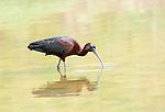 Glossy Ibis, Plegadis falcinellus, Lesvos, Greece, common spring migrant , lesbos