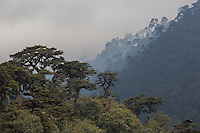 Trees shrouded in mist alongside the Wangdue Phodrang - Trongsa Highway, Bhutan
