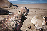 Adult male northern elephant seals on beach at Piedras Blancas, San Simeon, California