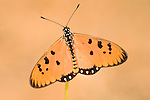 Tawny Coster Butterfly, Acraea terpsicore, Bandhavgarh National Park, orange on grass stem, wings open.India....