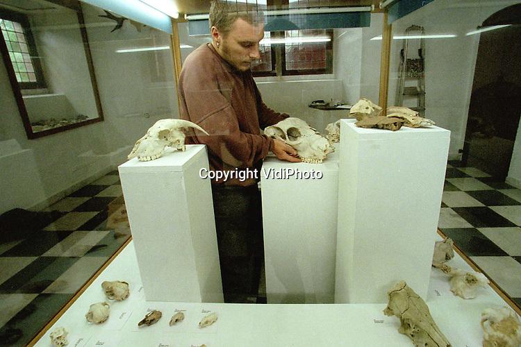 Foto: VidiPhoto..DOORWERTH - Het Museum voor Natuur- en Wildbeheer in kasteel Doorwerth stelt sinds kort haar torenkamer beschikbaar voor mensen die hun bijzondere verzameling aan anderen willen laten zien. Op dit moment wordt de schedelverzameling van de scholieren Niels Kemperman en Koen Deckers getoond. De beide jongens verzamelen al vanaf hun vijfde jaar schedels, botten en geweien. Op de expositie liggen de schedels van onder meer: paard, koe, geit, ree, hert en zwijn. Ook kleinere schedels van muizen, duiven, reigers en konijnen zijn aanwezig. Foto: Een medewerker van het museum legt de laatste hand aan de inrichting van de tentoonstelling.