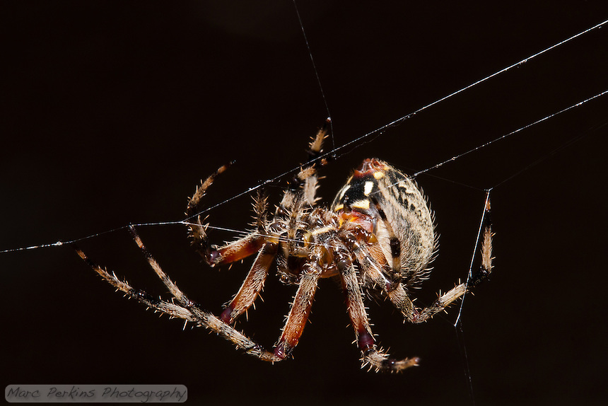 A large orb weaver spider (genus _Araneus_) walks along her web as she constructs it.  The spider has just come out for the evening, and is running large support strands before spinning her classic circular web.