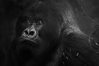 Guhonda, the world's largest mountain gorilla silverback, at Volcanoes National Park, Rwanda.