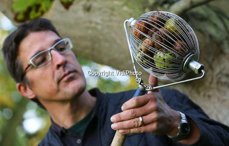 VidiPhoto<br /> <br /> 's  HEER ABTSKERKE - Slimme noten. Bij de grootste walnotenkweker van Nederland, Kwekerij Westhof in het Zeeuwse 's Heer Abtskerke, worden woensdag tienduizenden walnoten geoogst. Dat gebeurt met een soort handroller, waarin de noten na het rollen worden opgevangen. In de notengaard van zo'n 200 bomen, wordt dit jaar ongeveer 3000 kilo geoogst, bestemd voor de verkoop, maar ook voor notenlikeur en notenolie. Naast noten, verkoopt Westhof ook wereldwijd duizenden notenbomen per jaar. Notenbomen zijn weer trendy, omdat in noten veel gezonde Omega 3 zit en ook de hersenactiviteit zou stimuleren. Nieuw is de Westhofs Dwarf, een mini-notenboom.