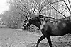 Gallant Man won the 1957 Belmont, Travers, Jockey Club Gold Cup, Peter Pan, Nassau County and Hibiscus Stakes, and the 1958 Hollywood Gold Cup, Sunset H. and Metropolitan H.