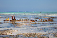 """Jambiani, Zanzibar, Tanzania.  Upright Poles Indicate Rows of Seaweed Cultivated by Village Women.  It will be dried and exported to Asia.  Plots can only be tended at low tide.  Women receive about twelve cents per kilo, """"thin and dried."""""""
