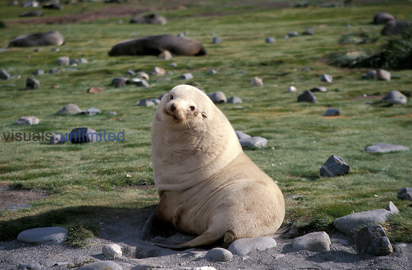 Leucistic Antarctic Fur Seal ,Arctocephalus gazella,, Salisbury Plain, South Georgia Islands.