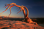 Iconic Jeffrey Pine Atop Sentinal Dome in Yosemite National Park California