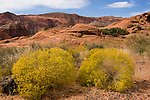 Snow Canyon State Park, Utah, UT, scenic of Red Kaibab sandstone with yellow saltbrush vegetation, rock formation, landform, arid, Southwest America, American Southwest, US, United States, Image ut405-18814, Photo copyright: Lee Foster, www.fostertravel.com, lee@fostertravel.com, 510-549-2202