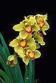 Yellow and orange cymbidium orchid