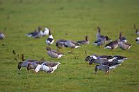 Grazing Greylag Geese, Swinbrook, Oxfordshire, UK. Free-range birds may be at risk if Avian Flu bird flu virusspreads.