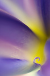 close-up of blue iris flower - commercial/editorial licensing for this image is available through: http://www.gettyimages.com/detail/200457432-001/Stone