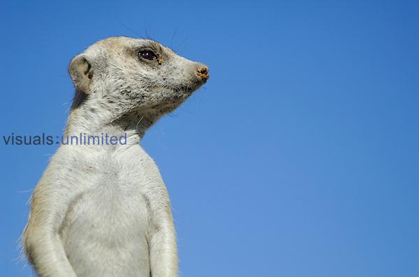 Suricate or Slender tailed Meerkat (Suricata suricatta)