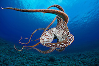 Day Octopus (Octopus cyanea), Hawaii, USA.