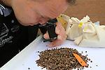 Foto: VidiPhoto<br /> <br /> SPRANG-CAPELLE/ZEVENBERGEN - Larven (adalia bipunctata) van het inheemse lieveheersbeestje blijken de beste en meest milieuvriendelijke oplossing tegen de overlast van luizen. De diertjes worden in open zakjes in bomen gehangen en verspreiden zich vandaaruit over de hele boom. In het larvestadium eten de kevertjes de helft al het voedsel dat ze tijdens hun leven naar binnen werken. De luizen zorgen voor overlast door een zoete, plakkerige vloeistof af te scheiden. Lieveheersbeestjes zijn er dol op, maar het het is bijna niet te verwijderen van auto's en terrasmeubelen. De adalia wordt geleverd door tuinspecialist Vos Capelle.  Foto: Dirk de Jong van Vos Capelle.