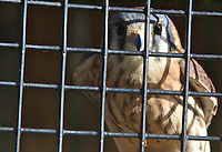 A Kestrel looks out from behind bars at a bird rehab center in Ponce Inlet, FL, on January 24, 2010.  (Photo by Brian Cleary/www.bcpix.com)