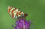 Spotted Fritillary Butterfly, Melitaea didyma, on purple thistle, side view of patterned wings, Provence .France....
