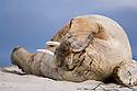 Walrus (Odobenus rosmarus) hauled out on beach and sleeping. Northern coast of Spitsbergen, Svalbard, Arctic Norway.