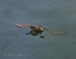 Crested Auklet (Aethia cristatella) adult in breeding plumage, flying in to land, St Paul Island, Pribilofs, Alaska,