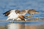 A female american avocet assumes the mating position while the male splashes water next to her