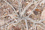 Death Valley National Park, California; a graphic view of the textures and patterns of a dead creosote  bush