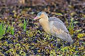 Whistling Heron (Syrigma sibilatrix), Pantanal, Mato Grosso, Brazil