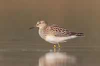 Pectoral Sandpiper (Calidris melanotos), East Pond, Jamaica Bay Wildlife Refuge