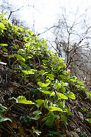 Japanese silver leaf (an edible mountain vegetable) growing on a hillside. Tsuruoka, Yamagata Prefecture, Japan, April 9, 2016. The city of Tsuruoka in Yamagata Prefecture is famous for its sansai mountain vegetable cuisine. These foraged grasses, fungi and vegetables are also used by the mountain ascetics of the Shugendo religion.
