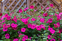 Petunia Tidal Wave Purple in pot container, annual flowering vine
