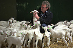 Foto: VidiPhoto<br /> <br /> RANDWIJK - Ruim 400 pasgeboren geitjes geven donderdag een heus lentegevoel. Geitenmester Marien van Voorthuijsen uit Randwijk in de Betuwe verzorgt de 'meiden' tot ze zwanger zijn en terug gaan naar eigenaar Frans Elshof uit Vethuizen bij Doetinchem. Daar mogen ze melk leveren voor de enorme (inter)nationale vraag naar dit product. Geitenmelk en -kaas stijgt opmerkelijk snel in populariteit, mede omdat het een prima alternatief is bij koemelkallergie. Daarnaast is geitenkaas bijna niet aan te slepen. Van Voorthuijsen zorgt er voor dat de geitjes 'afgemest' worden en in oktober terug kunnen naar de eigenaar. Tot die tijd moet het jonge spul met de hand geleerd worden hoe ze moeten drinken aan de melkautomaat. De Randwijkse veehouder heeft jarenlang zelf een geitenmelkerij gehad, maar door gebrek aan opvolgers is hij daarmee gestopt. In februari verwacht Van Voorthuijsen de tweede golf aan baby geitjes: nog eens 400 stuks.