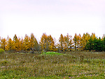Tamarack trees (Eastern Larch) in late autumn
