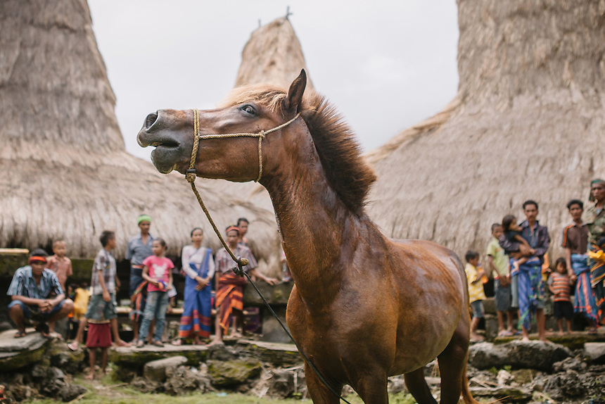 The Nyale Pasola horse in the village of Wainyapu, Kodi. Nyale horse plays an important role in Pasola. Considered sacred, the event cannot be started without the entrance of Nyale horse into the arena. Pasola is an ancient tradition from the Indonesian island of Sumba. Categorized as both extreme traditional sport and ritual, Pasola is an annual mock horse warfare performed in response to the harvesting season. In the battelfield, the Pasola warriors use blunt spears as their weapon. However, fatal accident still do occurs.