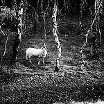 Curious sheep at Bolehill Quarry, Peak Distict